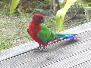 Kadavu Shining Parrot